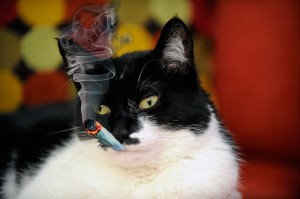 cat smoking catnip