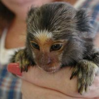 Finger Monkeys: The Planet's Smallest and Most Amazing Primate